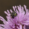 Hylaeus sp male, July