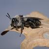 Andrena cineraria male, March