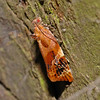 Red-barred Tortrix - Ditula angustiorana, July