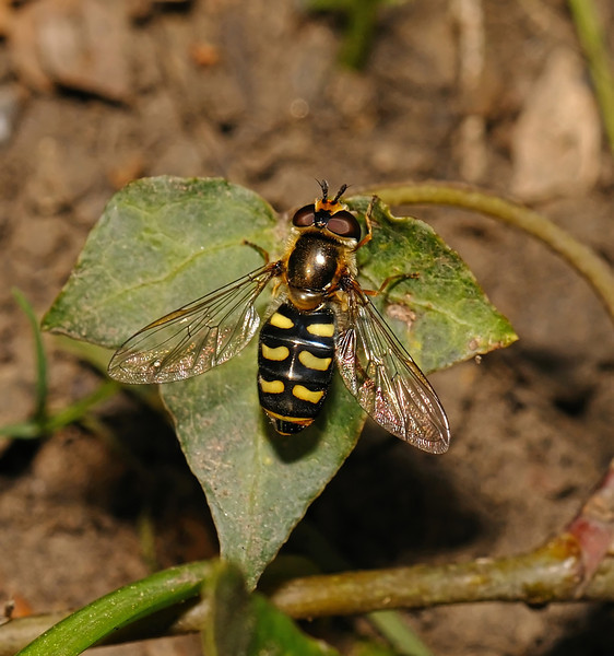 Eupeodes sp, April