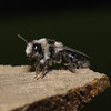 Andrena cineraria female, April