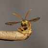 Nomada lathburiana male, May