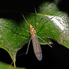 Crane Fly sp, July