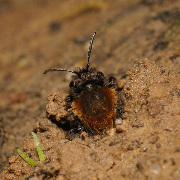 Andrena clarkella female, March