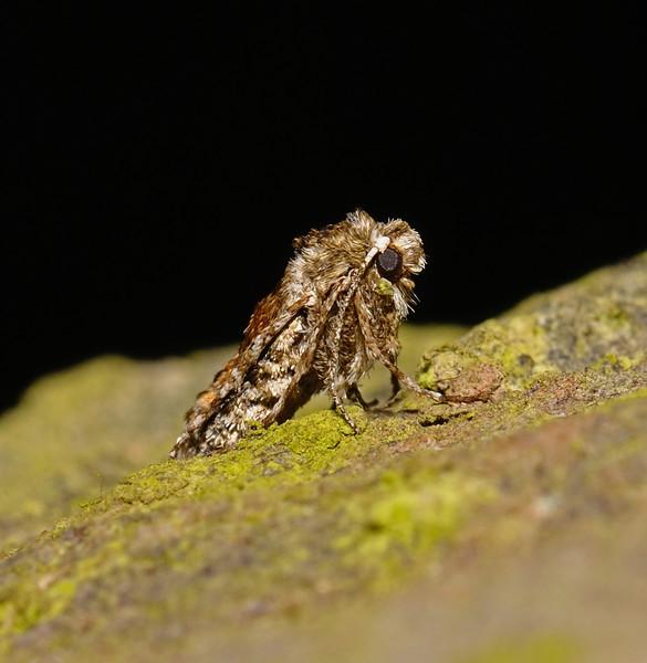Unknown female moth, March