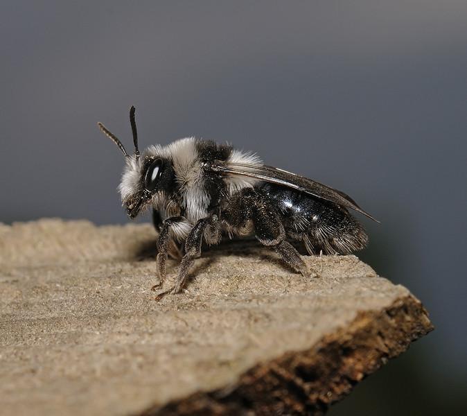 Andrena cineraria female, April