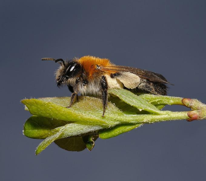 Andrena nitida female, April