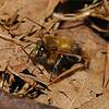 Anthophora plumipes male, April