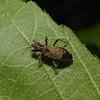 Himacerus mirmicoides, June