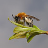 Andrena nitida female, April