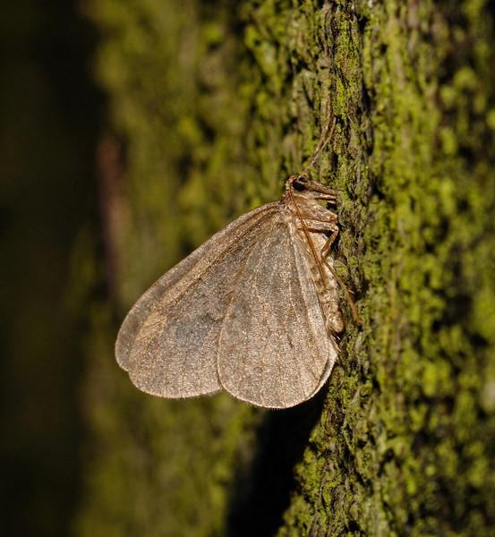 Winter Moth - Operophtera brumata, male, December