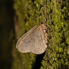 Winter Moth - Operophtera brumata, male, December