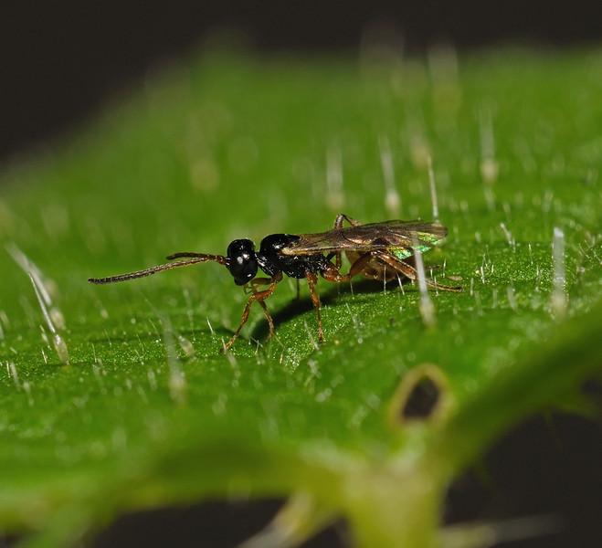 Braconid Wasp, October