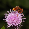 Sicus ferrugineus, July