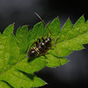Miris striatus nymph, May