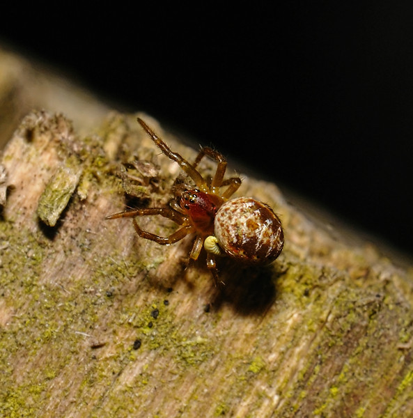 Parasitised spider, March