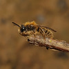 Andrena clarkella male, March