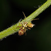 Rhabdomiris striatellus nymph, May