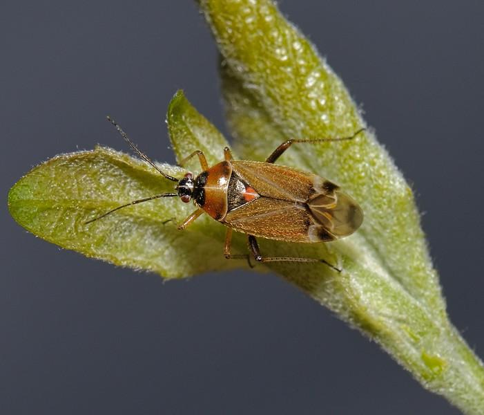 Harpocera thoracica female , May