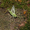 Oak Bush Cricket, August