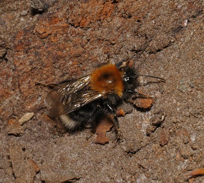 Bombus hypnorum, July