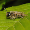 Andrena flavipes male, April
