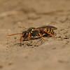Nomada fucata female, April