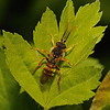 Nomada lathburiana male, April