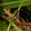 Nomada goodeniana, April