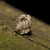 Lacewing larva, August