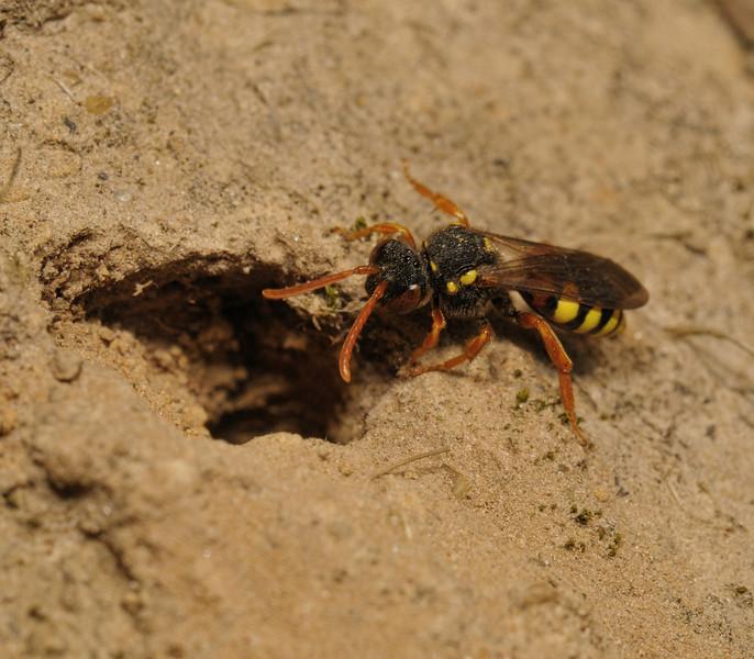 Nomada fucata female at Andrena flavipes nest entrance, April