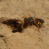 Nomada fucata female at Andrena flavipes nest entrance, April