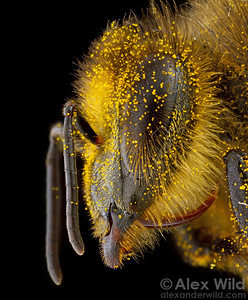 An early season worker of the western honey bee, Apis mellifera, covered with dandelion pollen.  Urbana, Illinois, USA