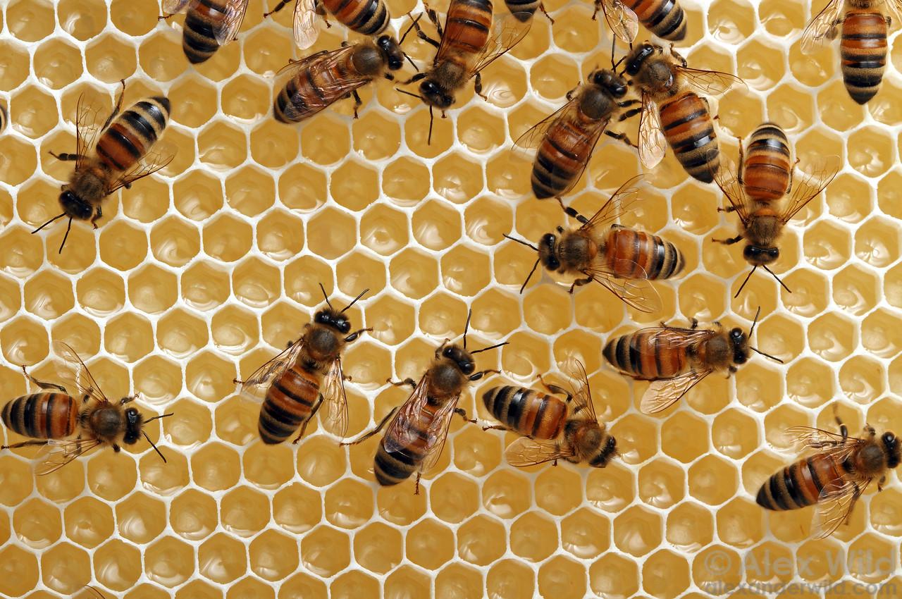 Worker bees ripen nectar in freshly-built honeycomb.