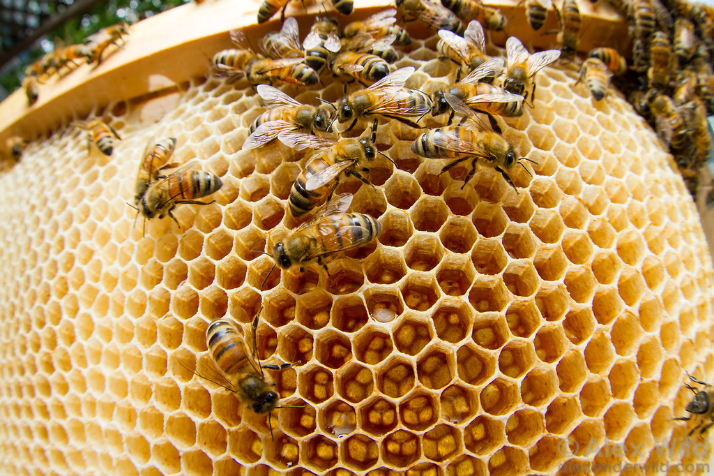 Honey bees ripen nectar during the spring honey flow.  Urbana, Illinois, USA