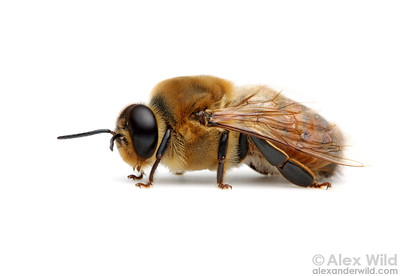 Portrait of a drone bee.