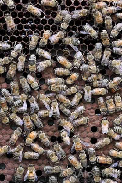 Inside the brood nest of a healthy colony of honey bees. Ripening nectar is visible at the top of the comb, with capped worker brood below.