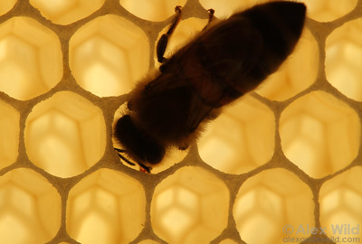 A bee drinks nectar from an uncapped cell.