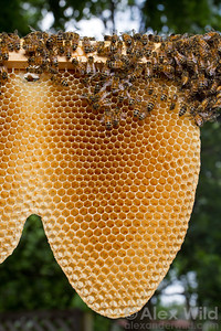 Honey bees naturally build their combs in a characteristic U-shape.