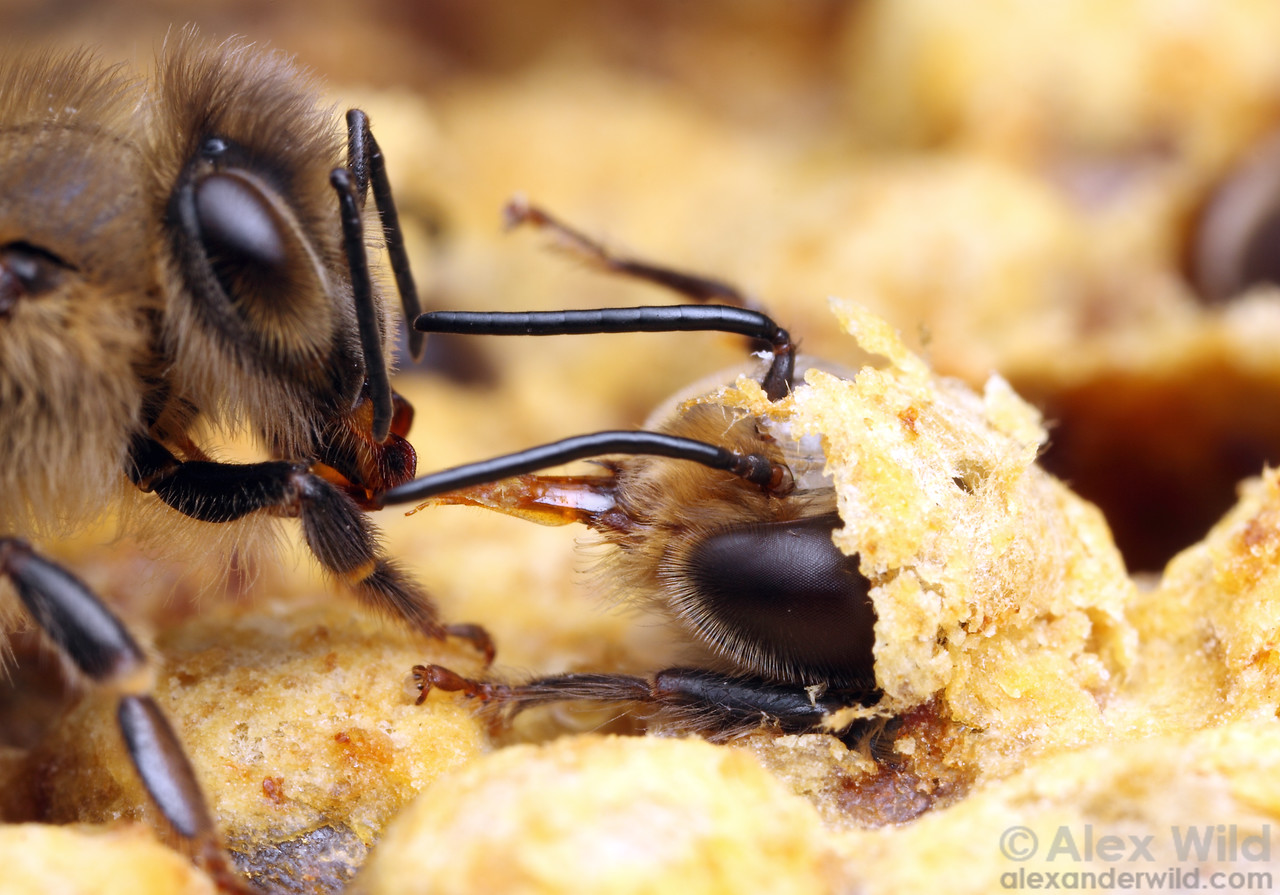 A worker (left) offers liquid food to a hungry young drone before he emerges from his cell.