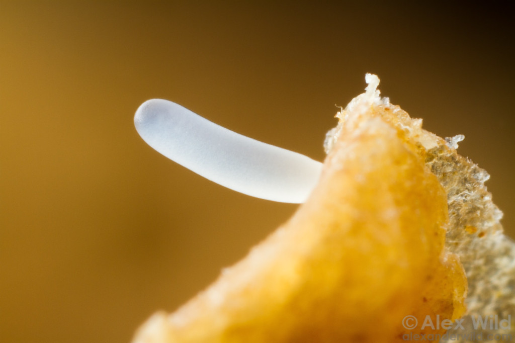 The egg of a worker honey bee.