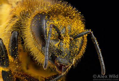 Apis mellifera - worker honey bee covered in dandelion pollen.  Urbana, Illinois, USA