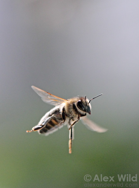 A worker honey bee Apis mellifera returns to the hive.