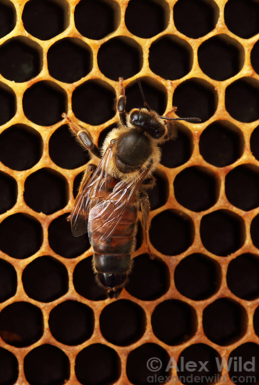 A queen bee is recognized by her elongate abdomen.