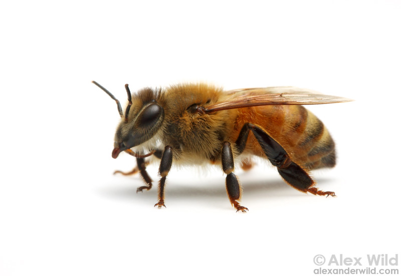 Portrait of a guard bee.