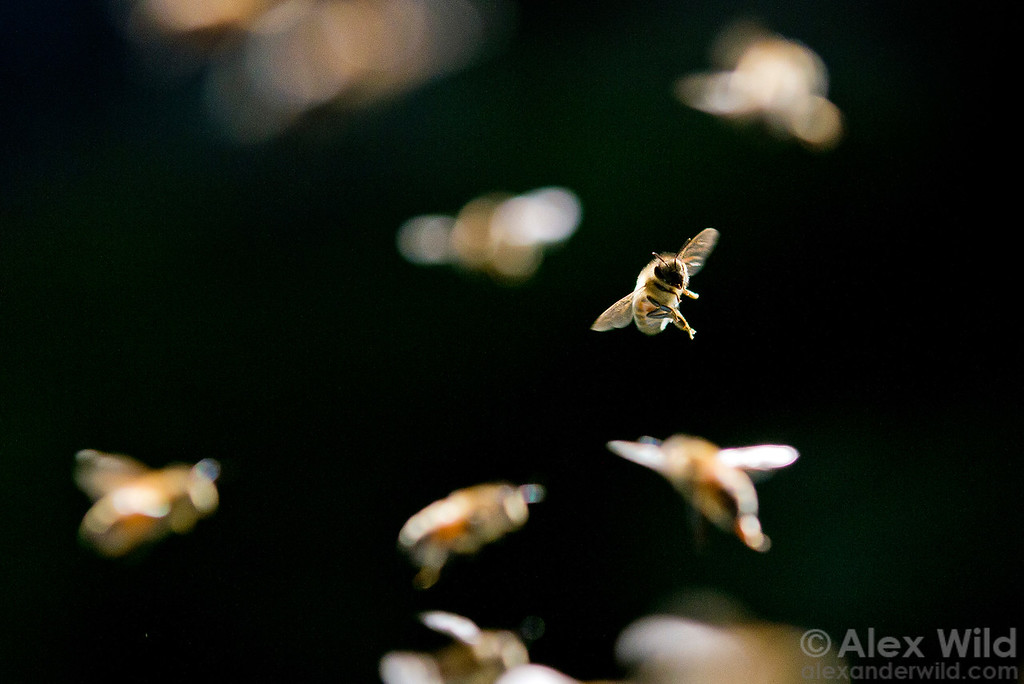 On a busy afternoon foragers come and go from the hive.