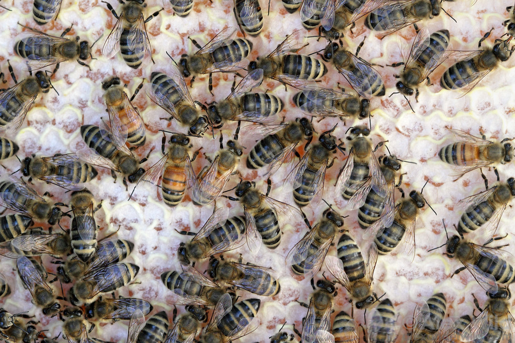 Honey bee queens normally mate with multiple drones to ensure a genetically diverse colony. This diversity of drone parentage may be visible in the varying hues of the worker force.