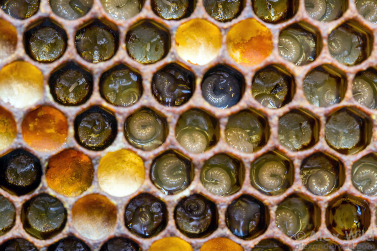 """Eggs and young worker larvae in the brood nest, interspersed with cells filled with """"bee bread""""- a mix of honey and pollen that serves as food for older larvae."""