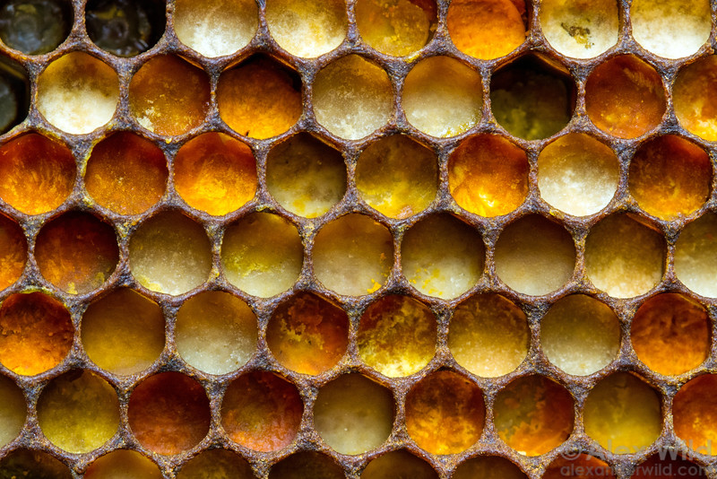 The various colors of pollen in a honey bee nest indicate different source plant species.