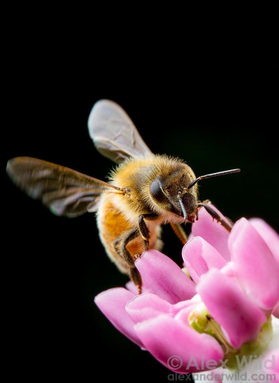 A worker honey bee alights on a prairie milkweed (Asclepias sullivantii).  Urbana, Illinois, USA
